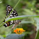 Tamron 17-50 2.8 Testbild Schmetterling